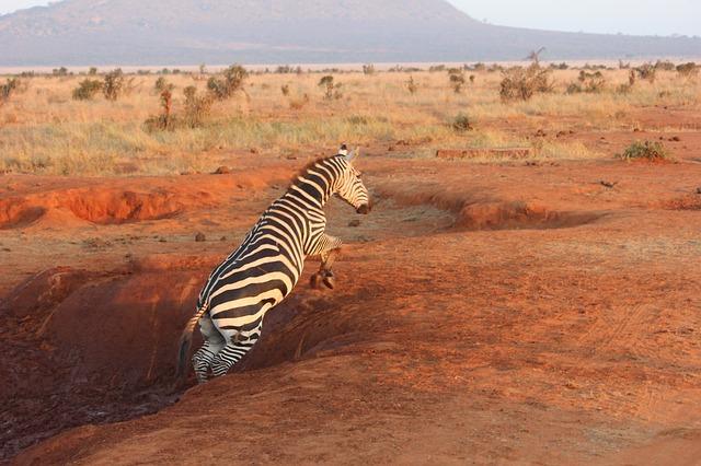 en zebra